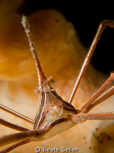 "Arrow crab , taken ""Under the Bridge"" by Beate Seiler"
